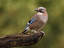 Jay bird ( Garrulus glandarius ) Stock Images