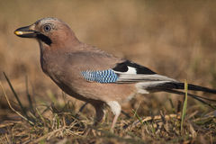 Jay bird (Garrulus glandarius) Stock Photography