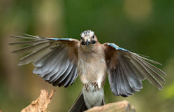 Jay bird ( Garrulus glandarius ) Royalty Free Stock Image