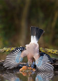Jay bird ( Garrulus glandarius ) Stock Photography