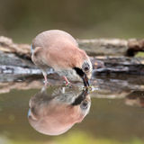 Jay bird ( Garrulus glandarius ) Royalty Free Stock Photos