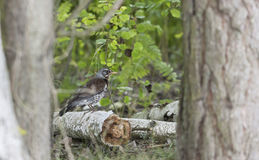 Jay bird sits on a broken tree beam Stock Photos
