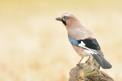 Jay bird Royalty Free Stock Photos