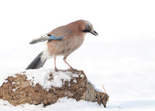 Jay bird Stock Photography