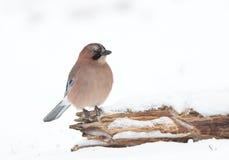 Jay bird Royalty Free Stock Image