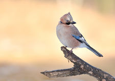 Jay bird Royalty Free Stock Image