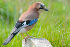 Jay bird. A jay bird standing on a gravestone Stock Images