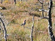 Jay bird in swamp Stock Image