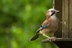 Jay on a bird table Stock Photo
