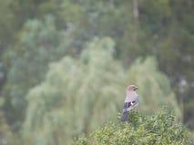 Jay bird on tree stock photo