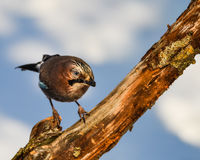 Jay bird on a twig Royalty Free Stock Photos