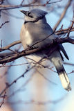 Jay bleu été perché sur le membre d'arbre photo libre de droits