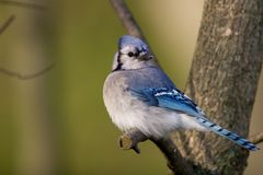 Jay bleu Image stock