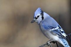 Jay bleu : Cristata de Cyanocitta Images stock