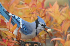Jay bleu en automne Photographie stock libre de droits