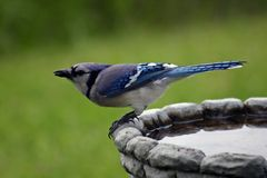 Jay bleu sur le Birdbath Images stock