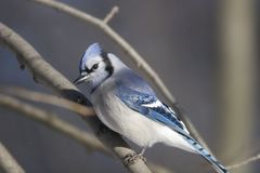 Jay blu   Fotografia Stock Libera da Diritti