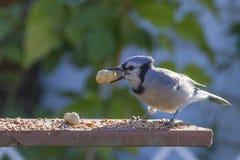 Jay blu con l'arachide Immagini Stock