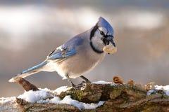 Jay blu con un'arachide Immagine Stock