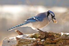Jay blu con un'arachide Immagine Stock Libera da Diritti