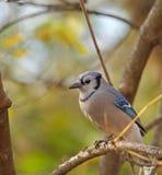 Jay blu, cristata del Cyanocitta Fotografie Stock