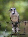 Jay blu, cristata del Cyanocitta Fotografie Stock Libere da Diritti