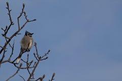 Jay blu in inverno Sun Immagine Stock