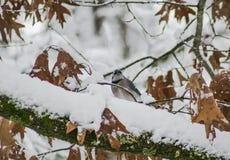 Jay blu nella neve Immagine Stock Libera da Diritti