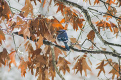 Jay blu nella neve (2) Fotografie Stock Libere da Diritti