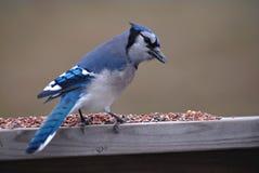 Jay blu nordamericano Immagini Stock