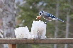 Jay blu sugli alimentatori della lanterna del ghiaccio con pane Immagini Stock