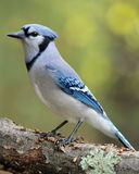 Jay. A blue jay (Cyanocitta cristata) perching on a branch in Fall Stock Photo