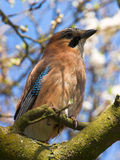 Jay on the branch Royalty Free Stock Photos
