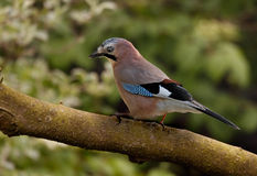 Jay on a Branch Royalty Free Stock Image
