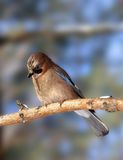 Jay on the branch. Royalty Free Stock Photos