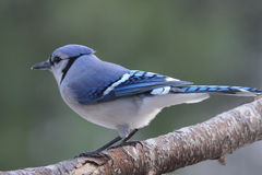 Jay on a Branch. A blue jay (Cyanocitta cristata) perching on a branch in Fall Stock Photos