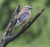Jay. On a Branch  at Forest Farm Nature Reserve Stock Photo