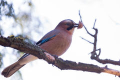 Jay on a branch Royalty Free Stock Images