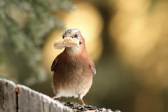 Jay with bread in beak Royalty Free Stock Photo