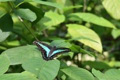 Jay Butterfly común imágenes de archivo libres de regalías