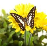 Jay Butterfly comune Fotografia Stock