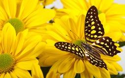 Jay Butterfly verde Immagine Stock