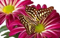 Jay Butterfly verde Fotografia Stock Libera da Diritti