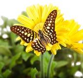 Jay Butterfly verde Immagini Stock