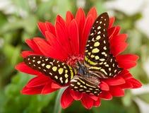 Jay Butterfly verde Immagini Stock Libere da Diritti