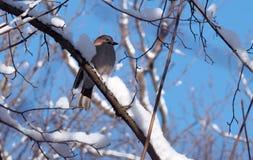 Jay che si siede al ramo in pieno di neve al backgroun del cielo blu Immagini Stock