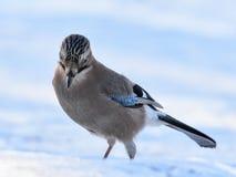 Jay común en nieve Fotos de archivo