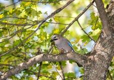 Jay con una nuez en un árbol en el bosque Fotos de archivo libres de regalías