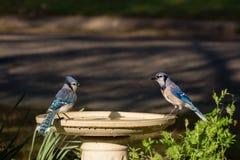 Jay Couple azul en alberquilla en Sunny Afternoon imagen de archivo libre de regalías