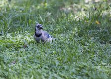 Jay Cyanocitta cristata. Spotted outdoors Stock Images